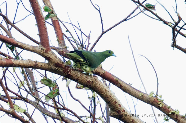 Whistling Green Pigeon
