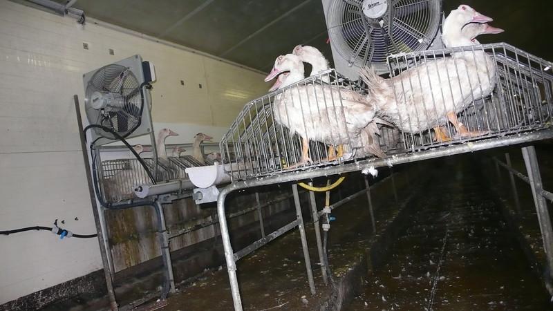 canards-foie-gras-2008-fr-B-033.jpg