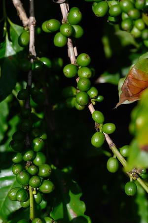 Jaques Coffee Plantation