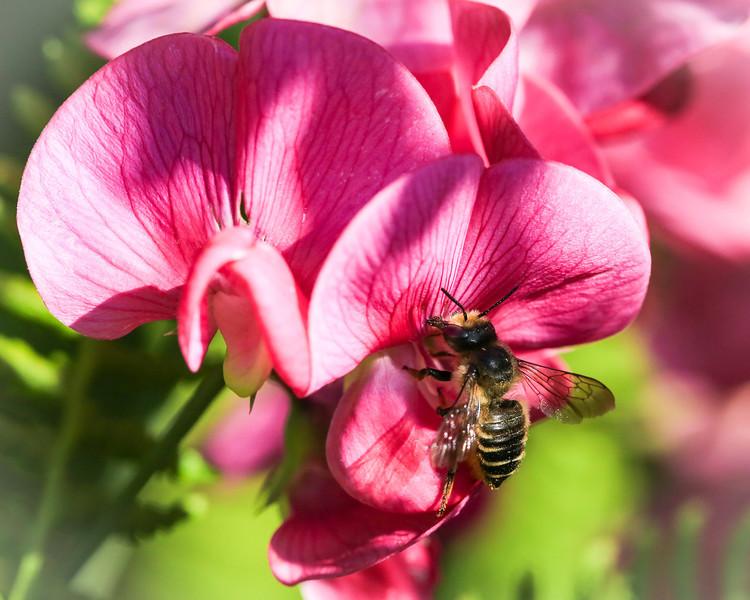 Black Bee Macro-0309.JPG