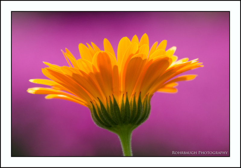 Rohrbaugh Photography Flowers 117.jpg