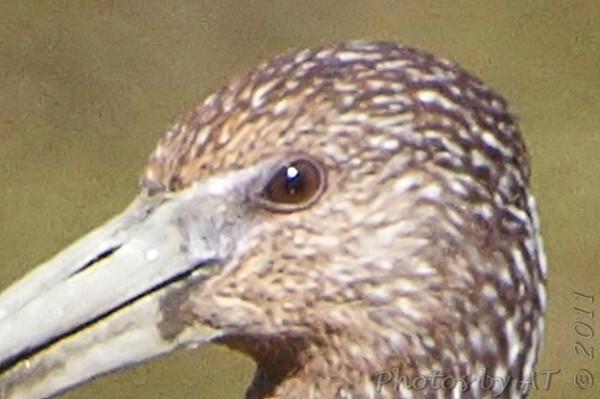 2011-10-08 Dark Ibis