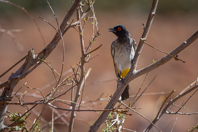 Bulbul, Black-fronted (spp. nigricans)