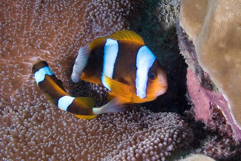 Three Band Anenome Fish 3.jpg