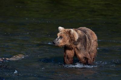 Alaskan brown bear walking through water