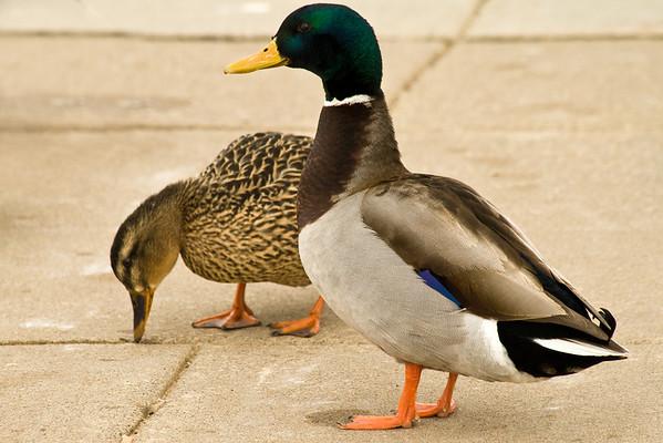 Ducks & Other Animals