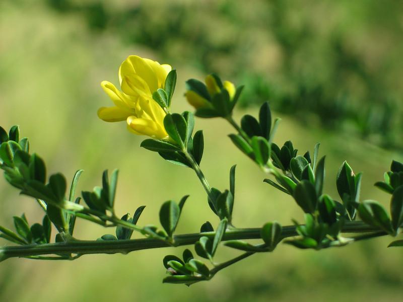 Broom - Flower.JPG