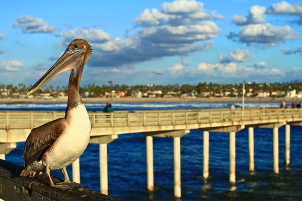 Brown Pelican on the Pier