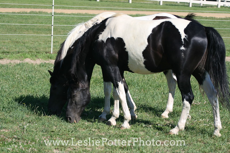 Black and White Pinto Horses in Pasture