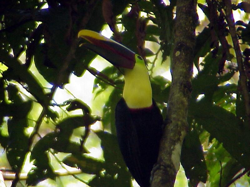 Chestnut-mandibled Toucan at La Selva Costa Rica 2-12-03 (50898090)
