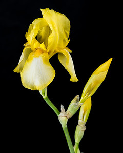 Yellow Iris Flower in Color set 2127