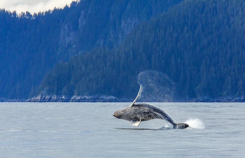 Whale Watching - things to do in Alaska