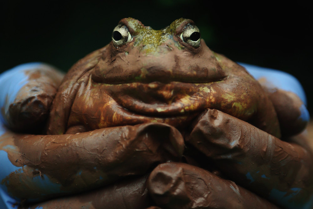 . A Bull Frog is held during London Zoo\'s annual stocktake of animals on January 3, 2013 in London, England. The zoo\'s stocktake takes place annually, and gives keepers a chance to check on the numbers of every one of the animals from stick insects and frogs to tigers and camels.  (Photo by Dan Kitwood/Getty Images)
