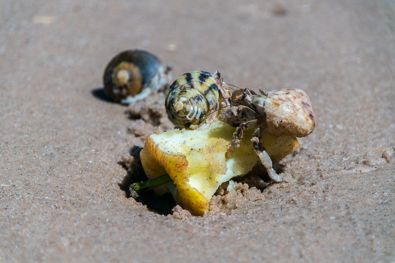 Hungry, hungry hermit crabs