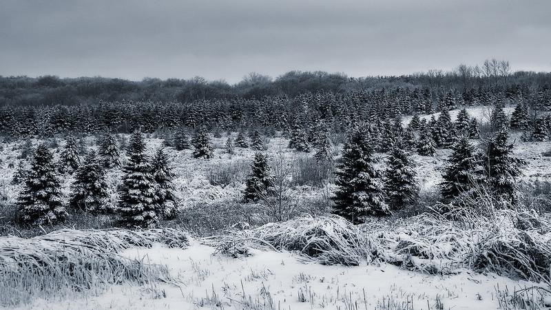 Winter Evergreens.jpg
