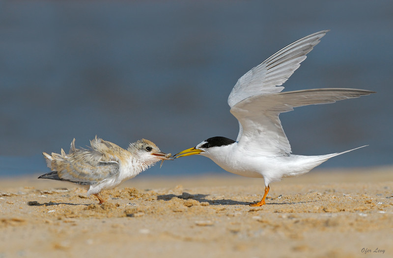 Little Tern feeding 3 MASTER.jpg