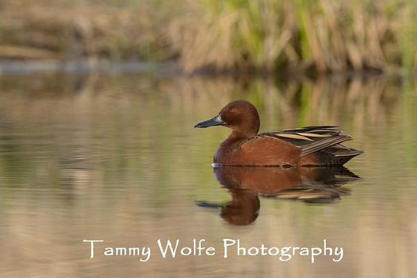 Duck, Cinnamon Teal