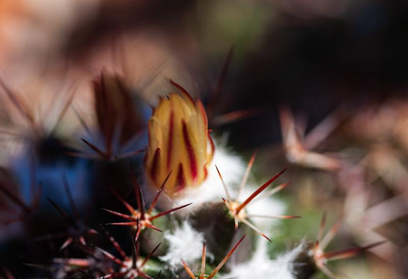 flowering wooly cactus-1142.jpg
