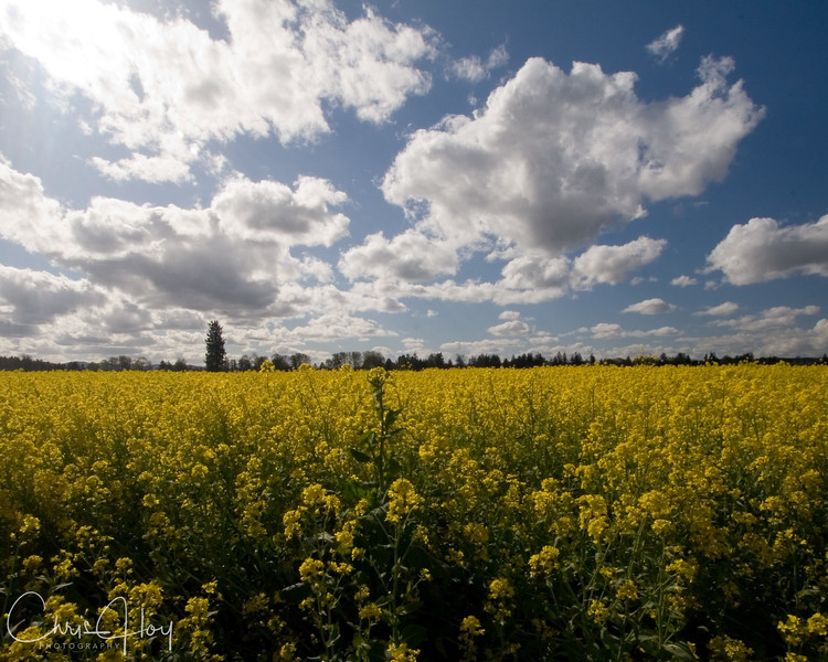 Rapeseed/Canola Field near Ankeny NWR