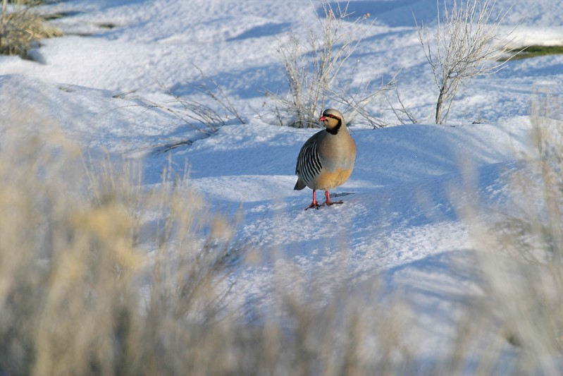 Introduced originally from Asia, the Chukar has adapted to its home in America [February; Antelope Island, Salt Lake City, Utah]