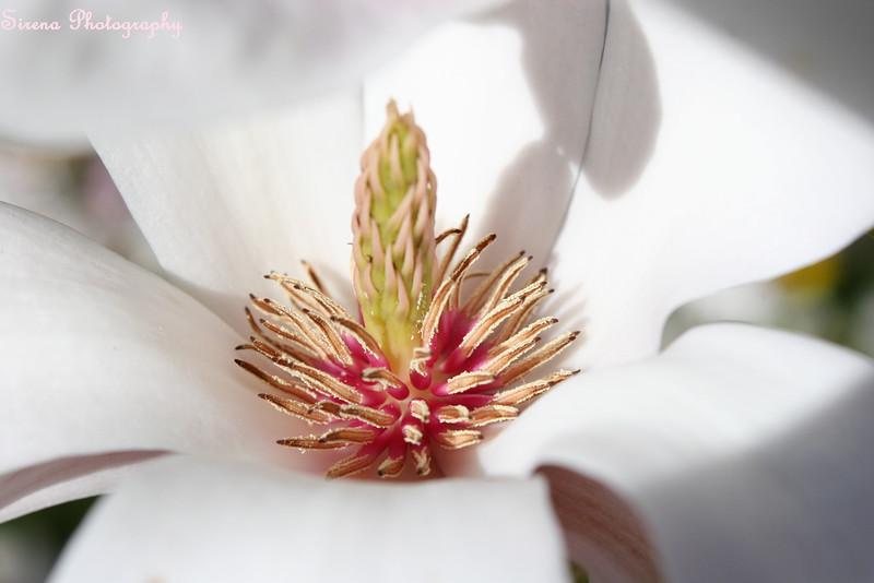 Middle Magnolia