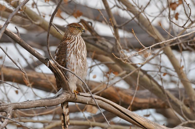 Cooper's Hawk, Bosque del Apache