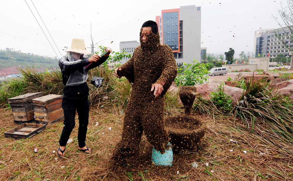 Description of . Chinese farmer She Ping gets covered with honey bees at his farm, producing honey to supplement their income in southwest China\'s Chongqing municipality on April 18, 2012.  China\'s subsidies to farmers grew six-fold to reach 147 billion USD in 2010, with an increasing amount going to propping up farmers\' pay.         AFP PHOTO