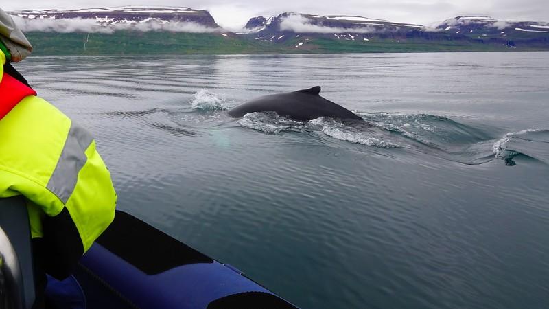 whale isafjordur copy.jpg