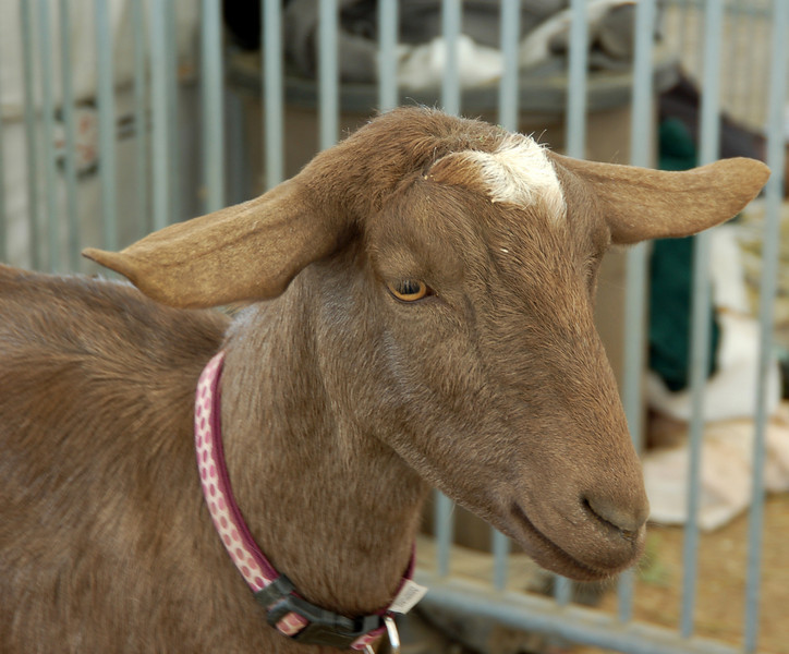 Another good-looking goat.