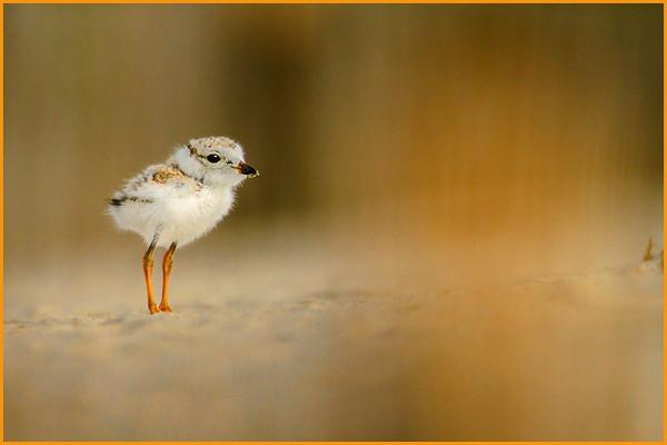 Misc. Shore Birds