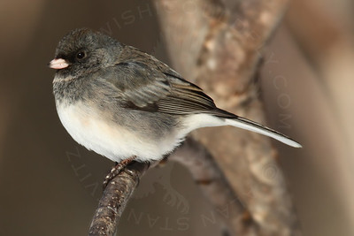 Junco, Dark-Eyed