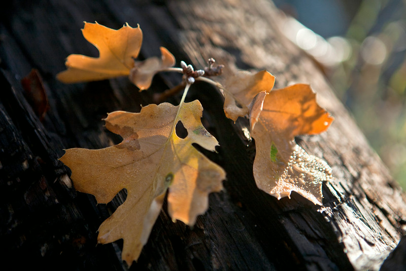 oakleavesdodgedsRGB.jpg