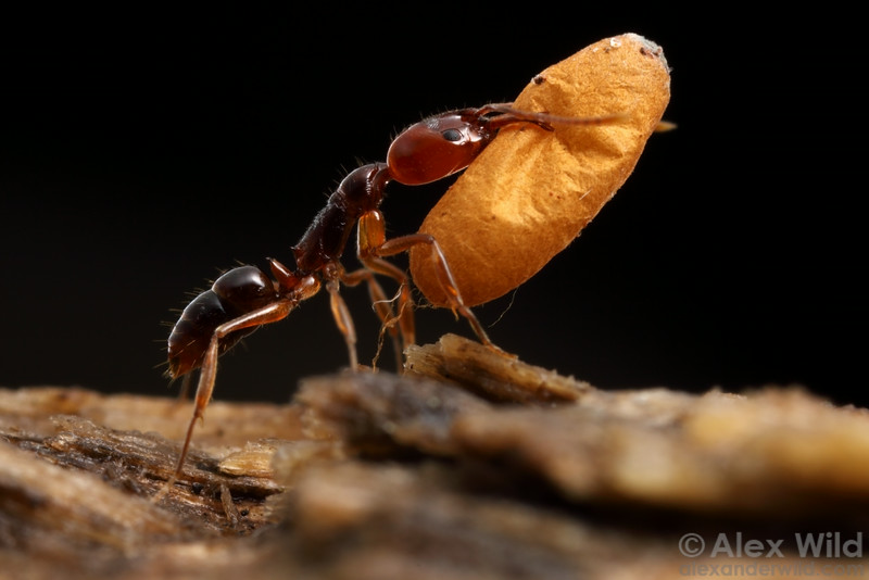 Anochetus paripungens, worker trap-jaw ant with pupa.  Northern Territory, Australia