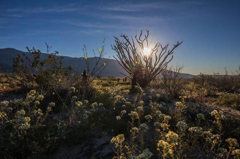 Sunrise in the Anza-Borrego Desert with an ocotillo, yellow flowers, and white flowers