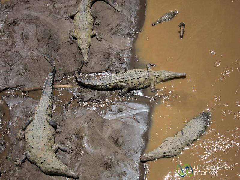 Crocodiles Lazing in the Tarcoles River - Costa Rica