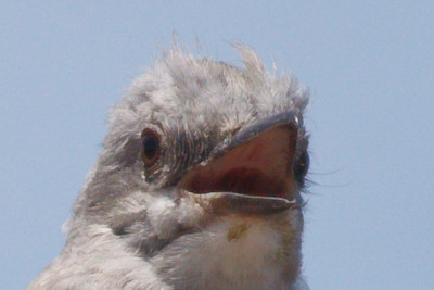 Western Kingbird adult (3) at Firebaugh, CA (07-18-2009)