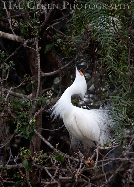 Snowy Egret male Newark, California 1304N-SE14