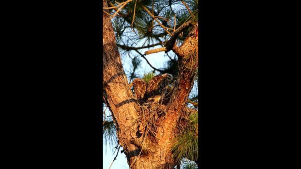 Brookwood Red Shouldered Hawk Chicks Videos