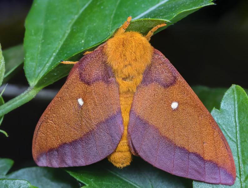 Female pink-striped oakworm moth
