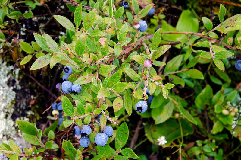 20jul29-blueberries1 copy.jpg