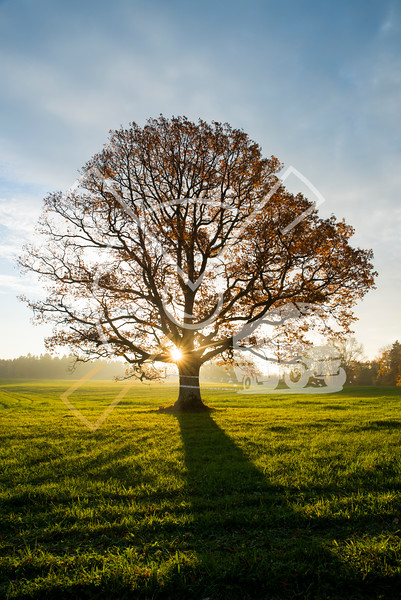 Sun popping through the almost empty branches of a beech tree on autumn morning in october