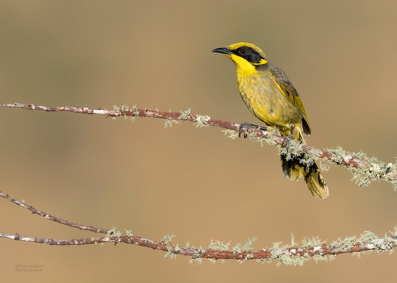Yellow-tufted Honeyeater, Glenrowan, VIC Oct 2018-1.jpg