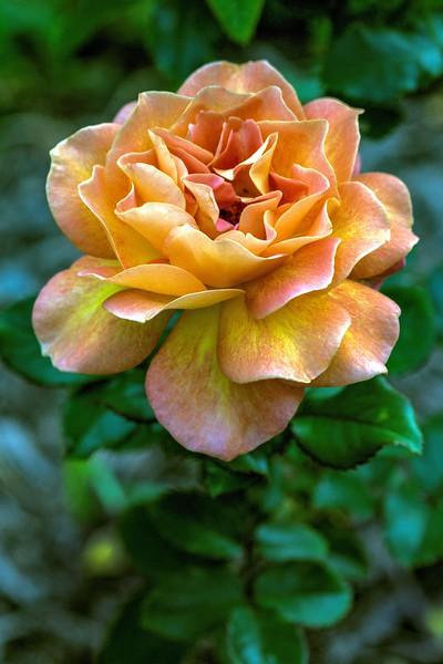 Ritter Park Rose Garden, WV, 012.jpg