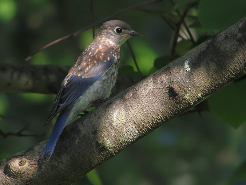 sx30_bluebird_fledgling_274.jpg