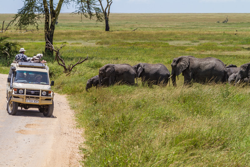 African elephants prepare to cross a dirt road as safari tourists look on from their trucks in Serengeti National Park, Tanzania