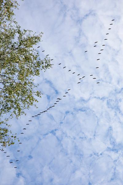 Crans migrating