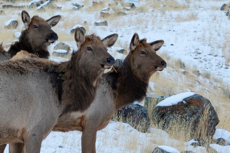_AR70844 Three elk by Gardiner close.jpg