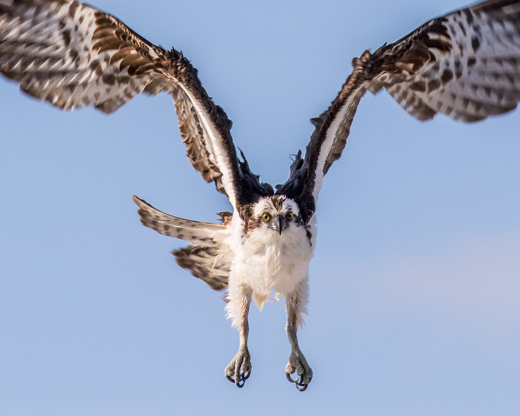 The male osprey checks me out!
