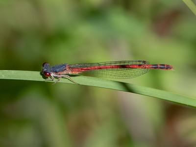 Eastern Red Damsel