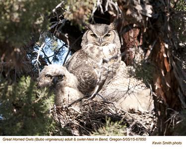 Great Horned Owls F&N67850 .jpg